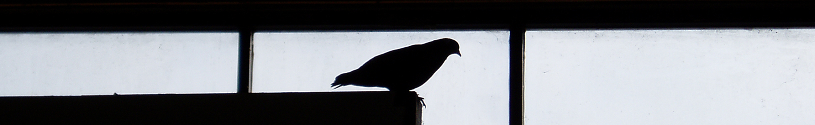 A silhouetted pigeon sits on a wall. Photo by Carlos Grasso.
